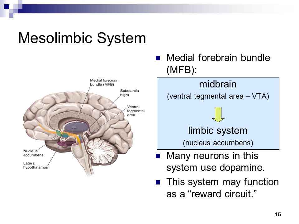 15 Medial forebrain bundle (MFB): midbrain (ventral tegmental area – VTA) limbic system (nucleus accumbens) Many neurons in this system use dopamine.