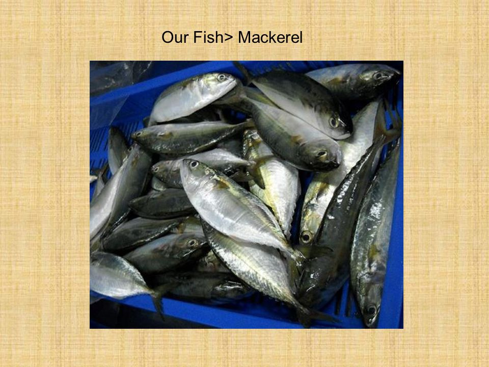 Our Fish> Mackerel