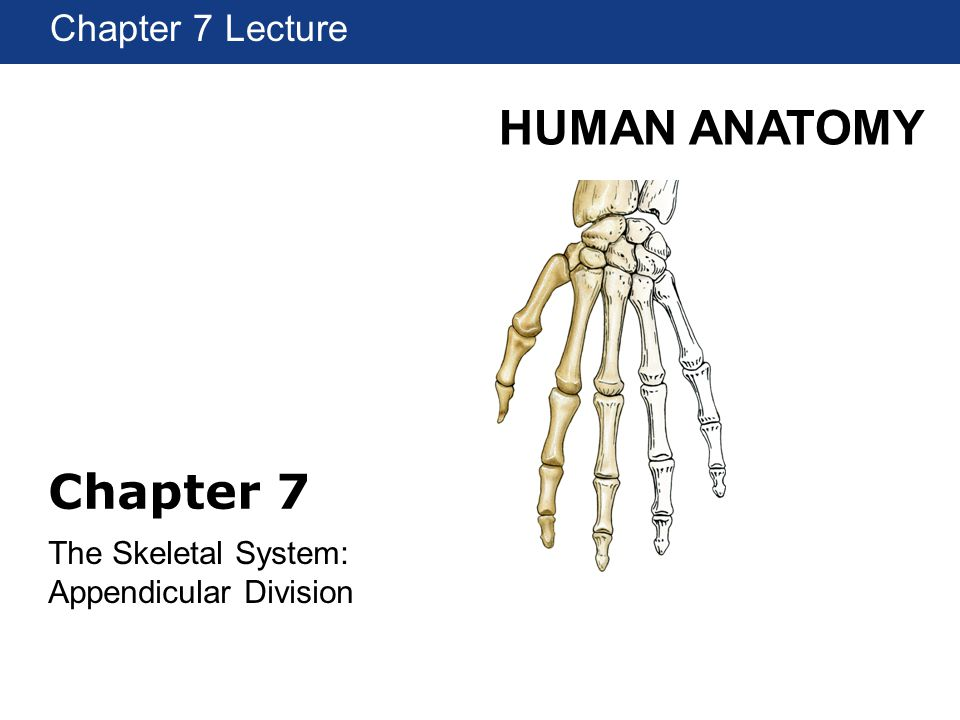 HUMAN ANATOMY Chapter 1 Lecture Chapter 7 The Skeletal System: Appendicular Division Chapter 7 Lecture