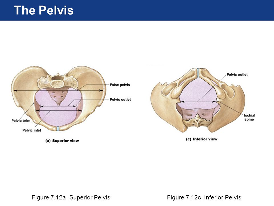 Figure 7.12a Superior PelvisFigure 7.12c Inferior Pelvis The Pelvis