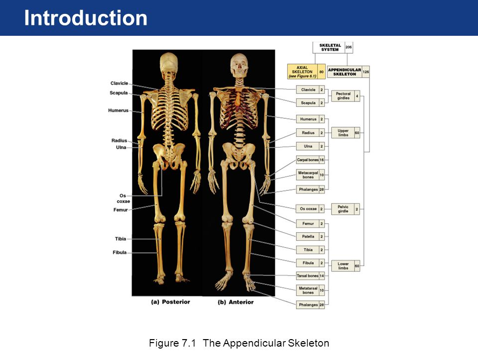 Figure 7.1 The Appendicular Skeleton Introduction