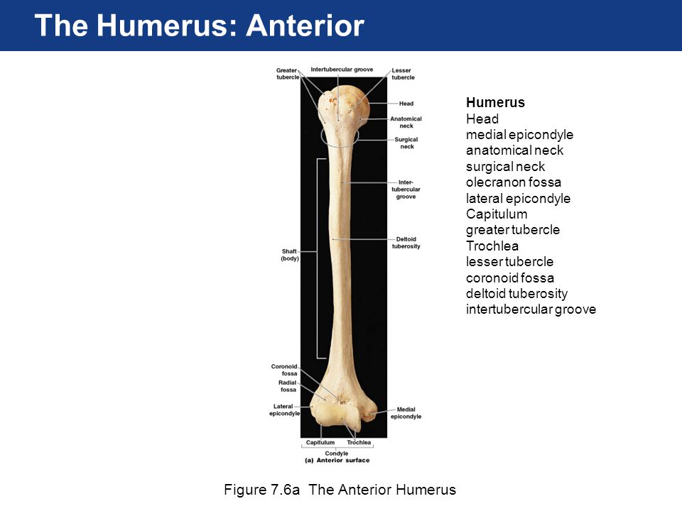 Figure 7.6a The Anterior Humerus The Humerus: Anterior Humerus Head medial epicondyle anatomical neck surgical neck olecranon fossa lateral epicondyle