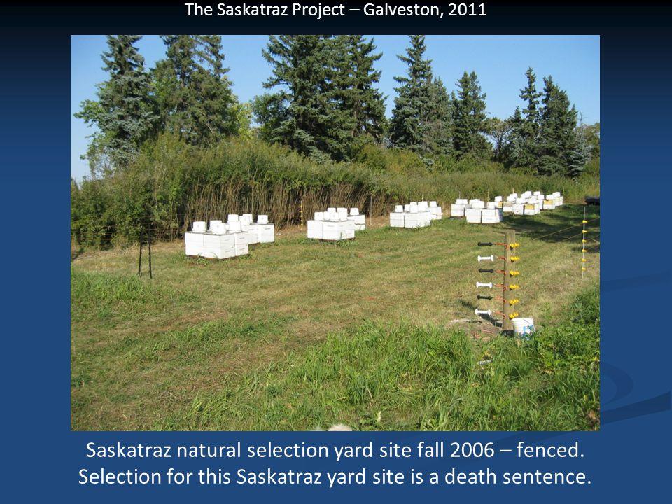 The Saskatraz Project – Galveston, 2011 Saskatraz natural selection yard site fall 2006 – fenced. Selection for this Saskatraz yard site is a death se