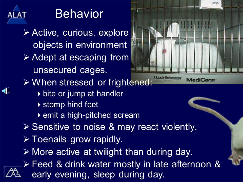 Behavior  Active, curious, explore objects in environment  Adept at escaping from unsecured cages.