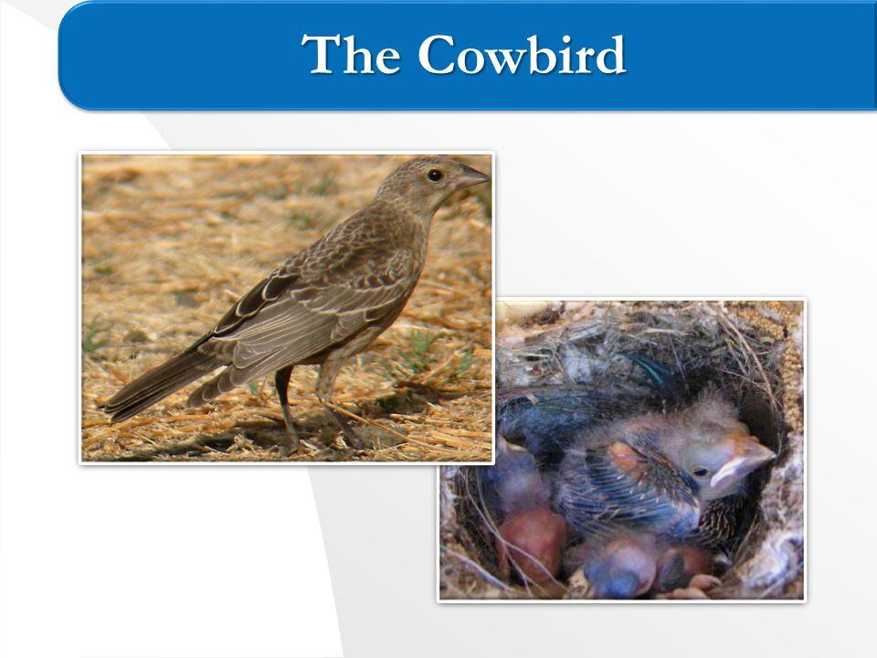 The Cowbird