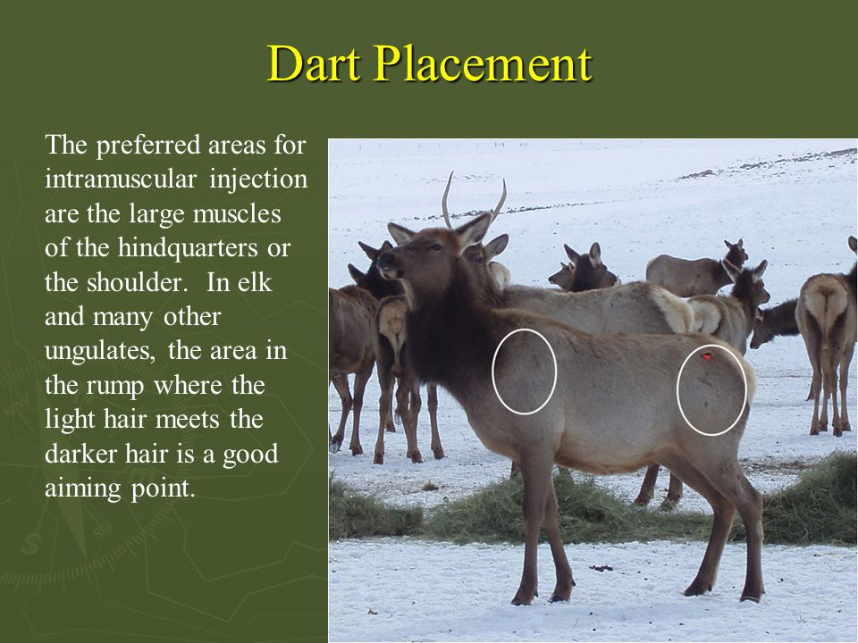 Dart Placement The preferred areas for intramuscular injection are the large muscles of the hindquarters or the shoulder. In elk and many other ungula