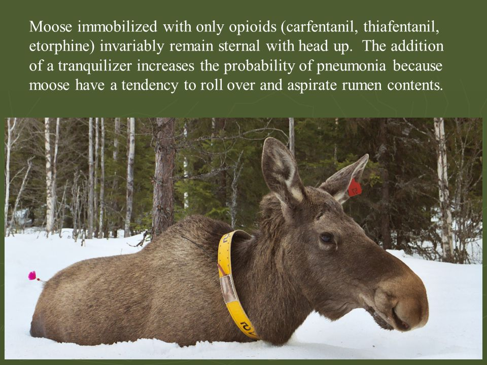 Moose immobilized with only opioids (carfentanil, thiafentanil, etorphine) invariably remain sternal with head up. The addition of a tranquilizer incr