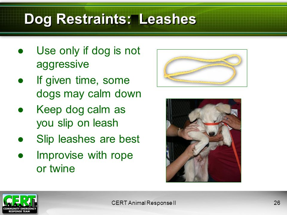 ●Use only if dog is not aggressive ●If given time, some dogs may calm down ●Keep dog calm as you slip on leash ●Slip leashes are best ●Improvise with rope or twine CERT Animal Response II26 Dog Restraints: Leashes