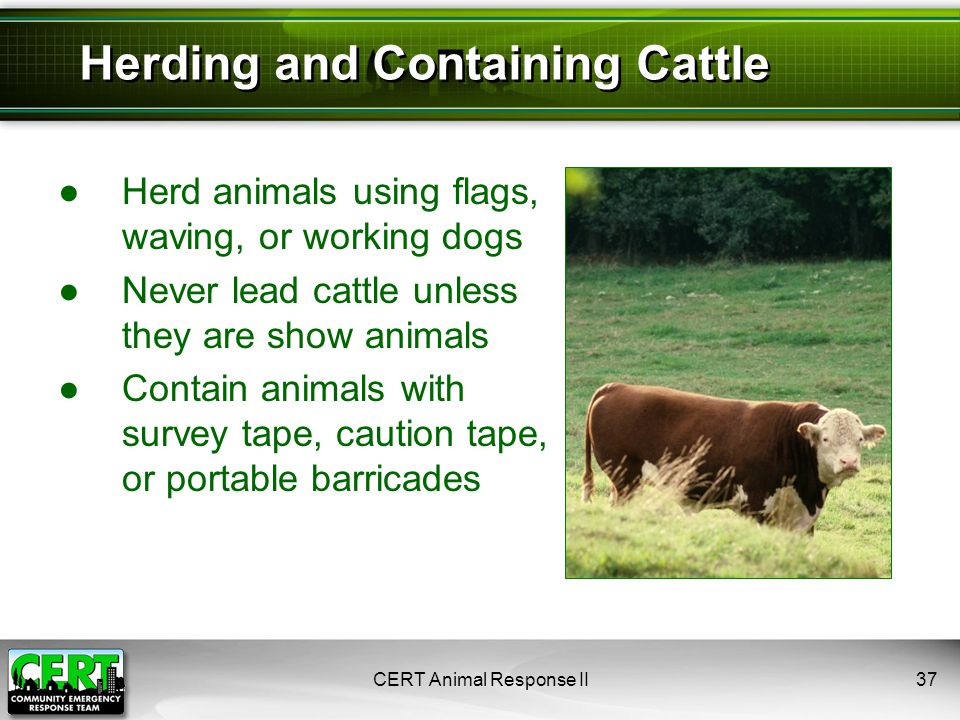 ●Herd animals using flags, waving, or working dogs ●Never lead cattle unless they are show animals ●Contain animals with survey tape, caution tape, or portable barricades CERT Animal Response II37 Herding and Containing Cattle
