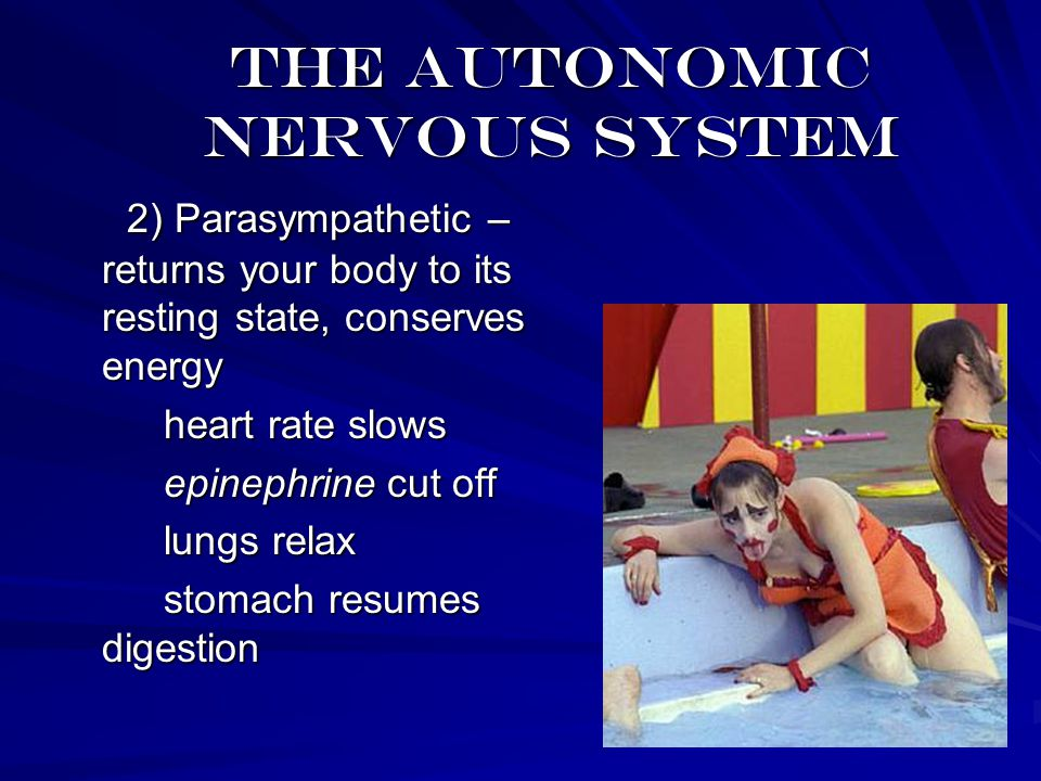 The autonomic nervous system 2) Parasympathetic – returns your body to its resting state, conserves energy 2) Parasympathetic – returns your body to its resting state, conserves energy heart rate slows heart rate slows epinephrine cut off epinephrine cut off lungs relax lungs relax stomach resumes digestion stomach resumes digestion