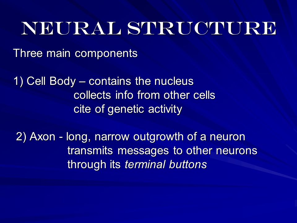 Neural structure Three main components 1) Cell Body – contains the nucleus collects info from other cells collects info from other cells cite of genetic activity cite of genetic activity 2) Axon - long, narrow outgrowth of a neuron 2) Axon - long, narrow outgrowth of a neuron transmits messages to other neurons transmits messages to other neurons through its terminal buttons through its terminal buttons
