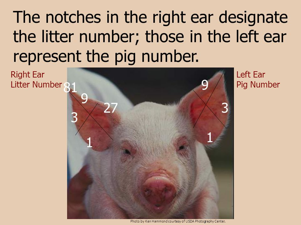 The notches in the right ear designate the litter number; those in the left ear represent the pig number. Right Ear Litter Number Left Ear Pig Number
