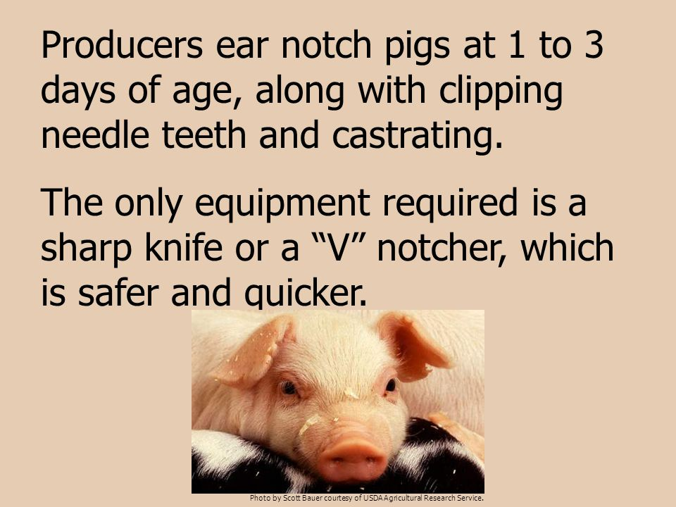 """Producers ear notch pigs at 1 to 3 days of age, along with clipping needle teeth and castrating. The only equipment required is a sharp knife or a """"V"""""""