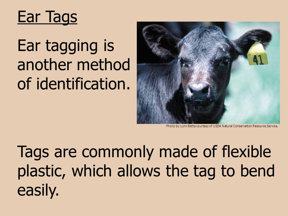 Ear Tags Ear tagging is another method of identification. Tags are commonly made of flexible plastic, which allows the tag to bend easily. Photo by Ly