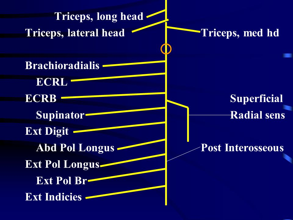 Triceps, long head Triceps, lateral headTriceps, med hd Brachioradialis ECRL ECRBSuperficial SupinatorRadial sens Ext Digit Abd Pol LongusPost Interosseous Ext Pol Longus Ext Pol Br Ext Indicies