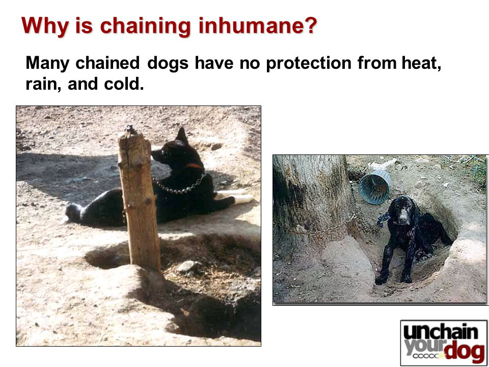 Many chained dogs have no protection from heat, rain, and cold. Why is chaining inhumane?