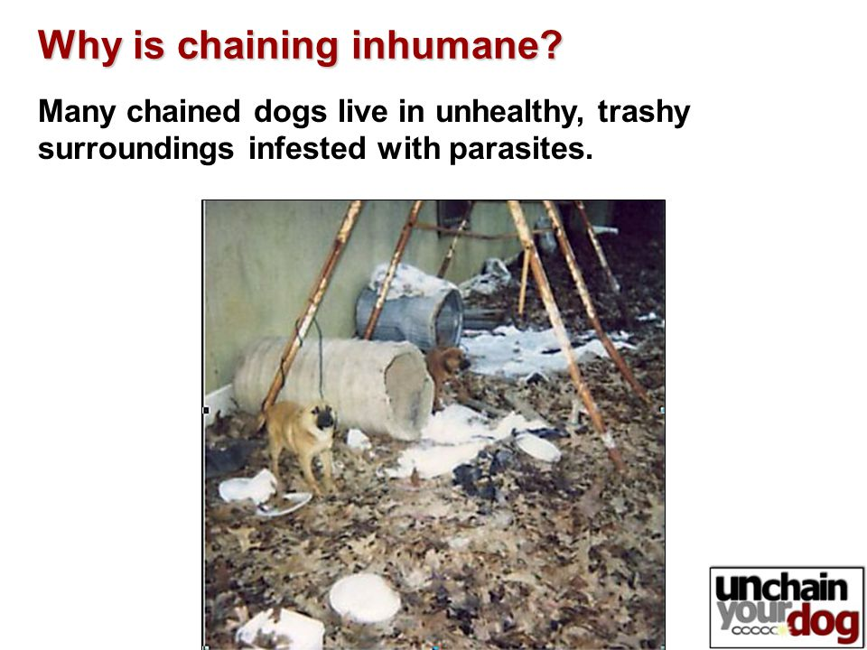 Many chained dogs live in unhealthy, trashy surroundings infested with parasites.