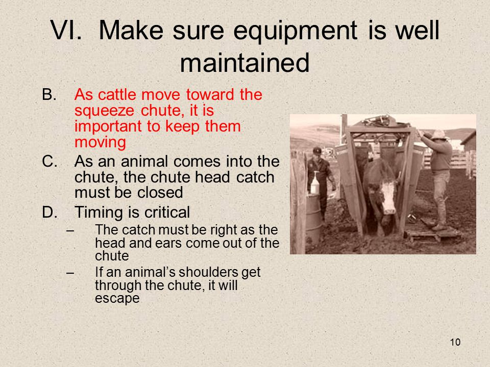 10 VI. Make sure equipment is well maintained B.As cattle move toward the squeeze chute, it is important to keep them moving C.As an animal comes into