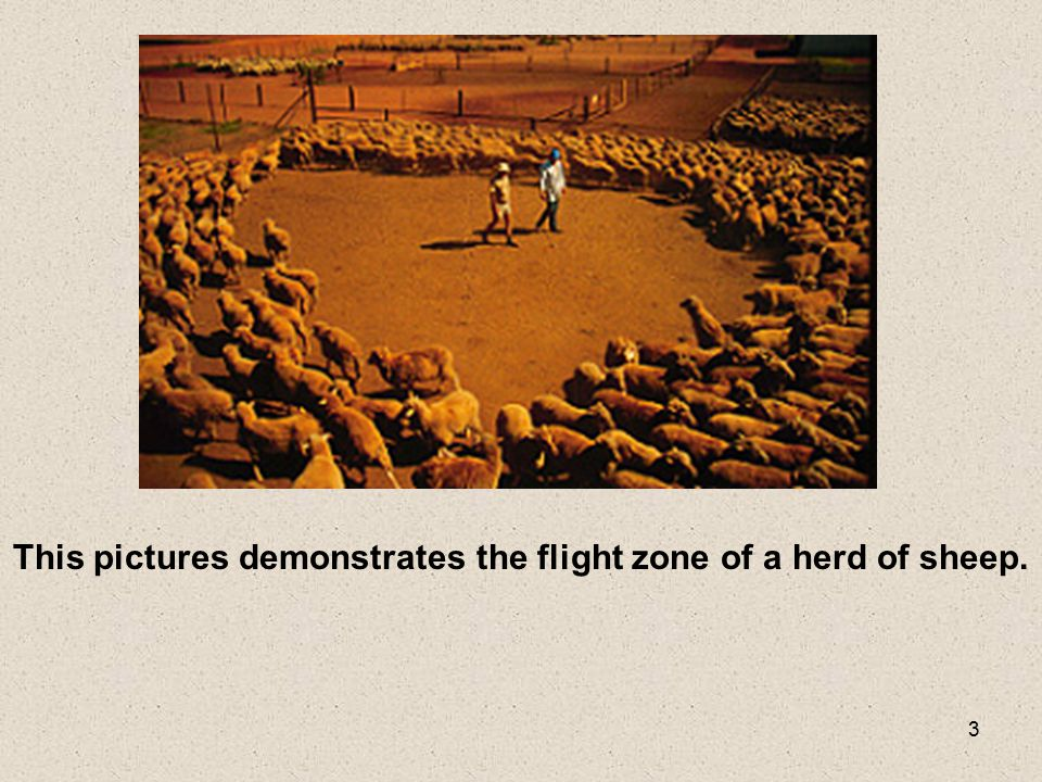 3 This pictures demonstrates the flight zone of a herd of sheep.
