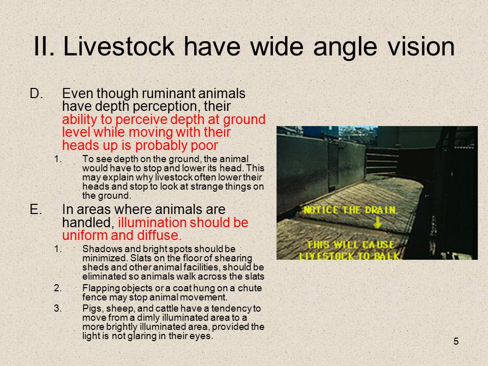 5 II. Livestock have wide angle vision D.Even though ruminant animals have depth perception, their ability to perceive depth at ground level while mov