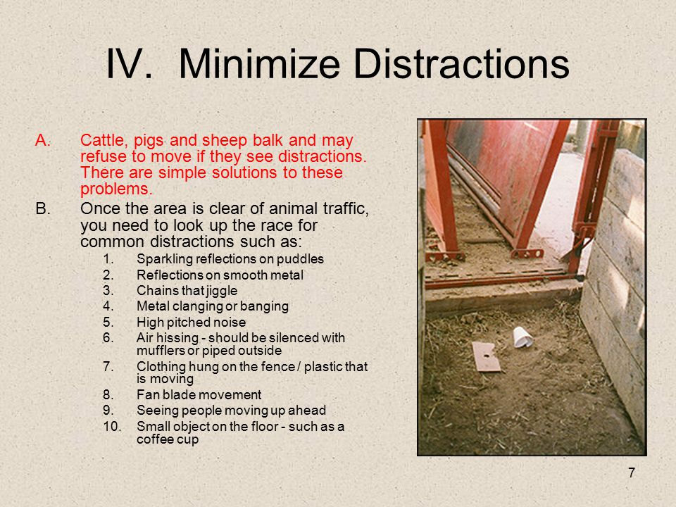 7 IV. Minimize Distractions A.Cattle, pigs and sheep balk and may refuse to move if they see distractions. There are simple solutions to these problem