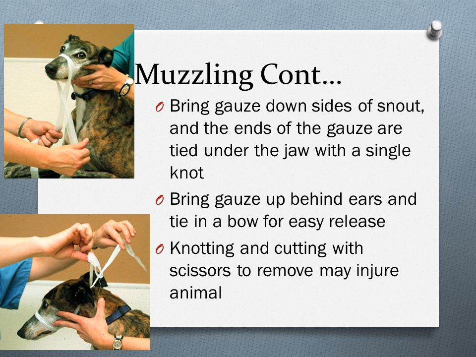 Muzzling Cont… O Bring gauze down sides of snout, and the ends of the gauze are tied under the jaw with a single knot O Bring gauze up behind ears and tie in a bow for easy release O Knotting and cutting with scissors to remove may injure animal