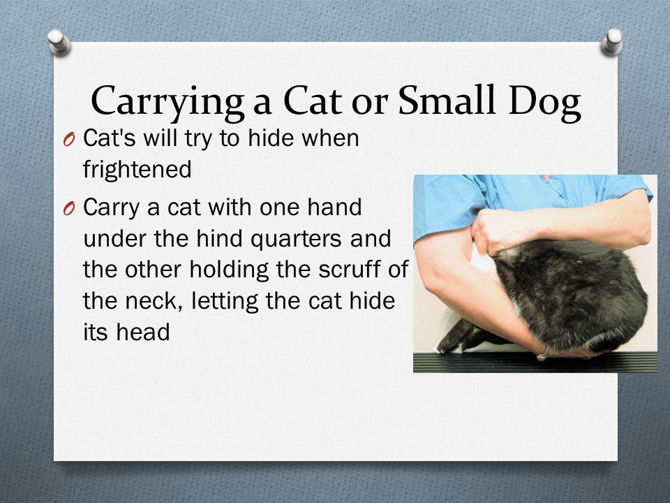 Carrying a Cat or Small Dog O Cat s will try to hide when frightened O Carry a cat with one hand under the hind quarters and the other holding the scruff of the neck, letting the cat hide its head