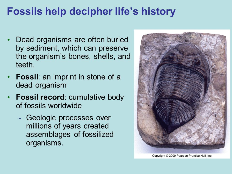 Fossils help decipher life's history Dead organisms are often buried by sediment, which can preserve the organism's bones, shells, and teeth. Fossil: