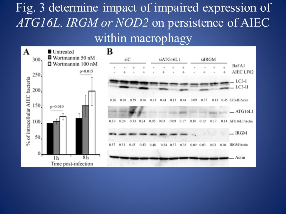 Fig. 3 determine impact of impaired expression of ATG16L, IRGM or NOD2 on persistence of AIEC within macrophagy