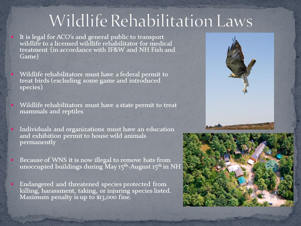 It is legal for ACO's and general public to transport wildlife to a licensed wildlife rehabilitator for medical treatment (in accordance with IF&W and NH Fish and Game) Wildlife rehabilitators must have a federal permit to treat birds (excluding some game and introduced species) Wildlife rehabilitators must have a state permit to treat mammals and reptiles Individuals and organizations must have an education and exhibition permit to house wild animals permanently Because of WNS it is now illegal to remove bats from unoccupied buildings during May 15 th -August 15 th in NH Endangered and threatened species protected from killing, harassment, taking, or injuring species listed.