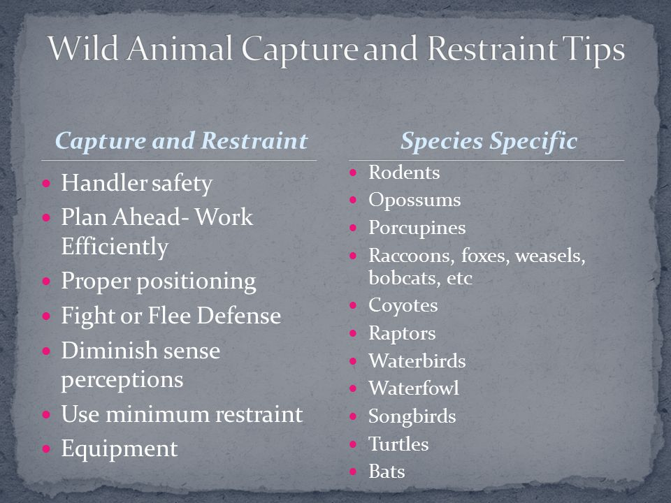 Handler safety Plan Ahead- Work Efficiently Proper positioning Fight or Flee Defense Diminish sense perceptions Use minimum restraint Equipment Rodents Opossums Porcupines Raccoons, foxes, weasels, bobcats, etc Coyotes Raptors Waterbirds Waterfowl Songbirds Turtles Bats Capture and RestraintSpecies Specific