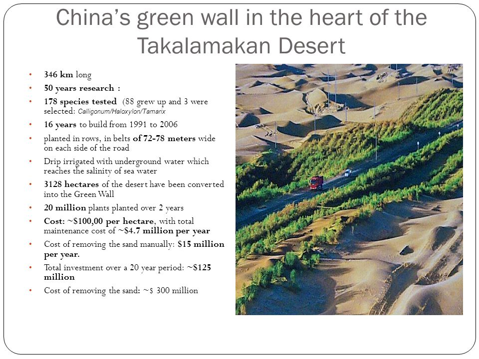 China's green wall in the heart of the Takalamakan Desert 346 km long 50 years research : 178 species tested (88 grew up and 3 were selected: Calligon