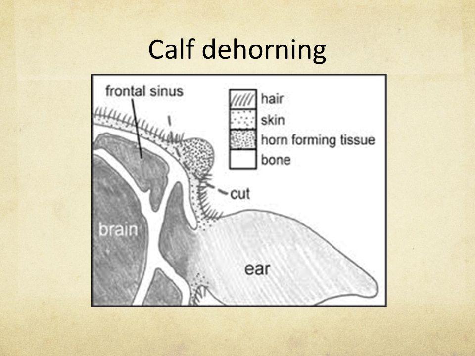 Calf dehorning