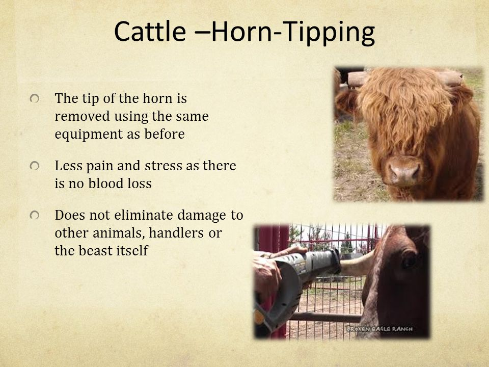 Cattle –Horn-Tipping The tip of the horn is removed using the same equipment as before Less pain and stress as there is no blood loss Does not elimina