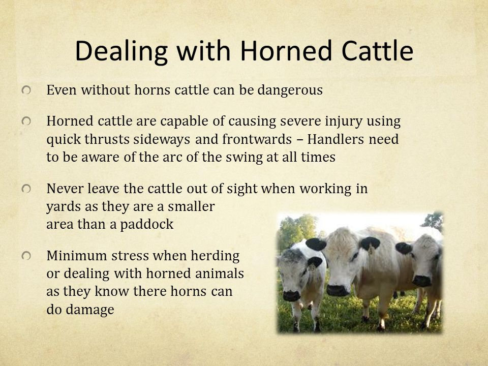 Dealing with Horned Cattle Even without horns cattle can be dangerous Horned cattle are capable of causing severe injury using quick thrusts sideways