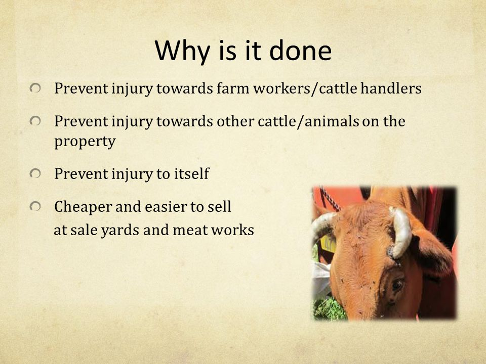 Procedures after dehorning Make sure the animal is left to bleed out freely Avoid leaving animals in yards as they can pass on infection with open wounds Straight onto good nutritional feed Check on the animals a few times for a few days to ensure bleeding has stopped and no infection has occurred