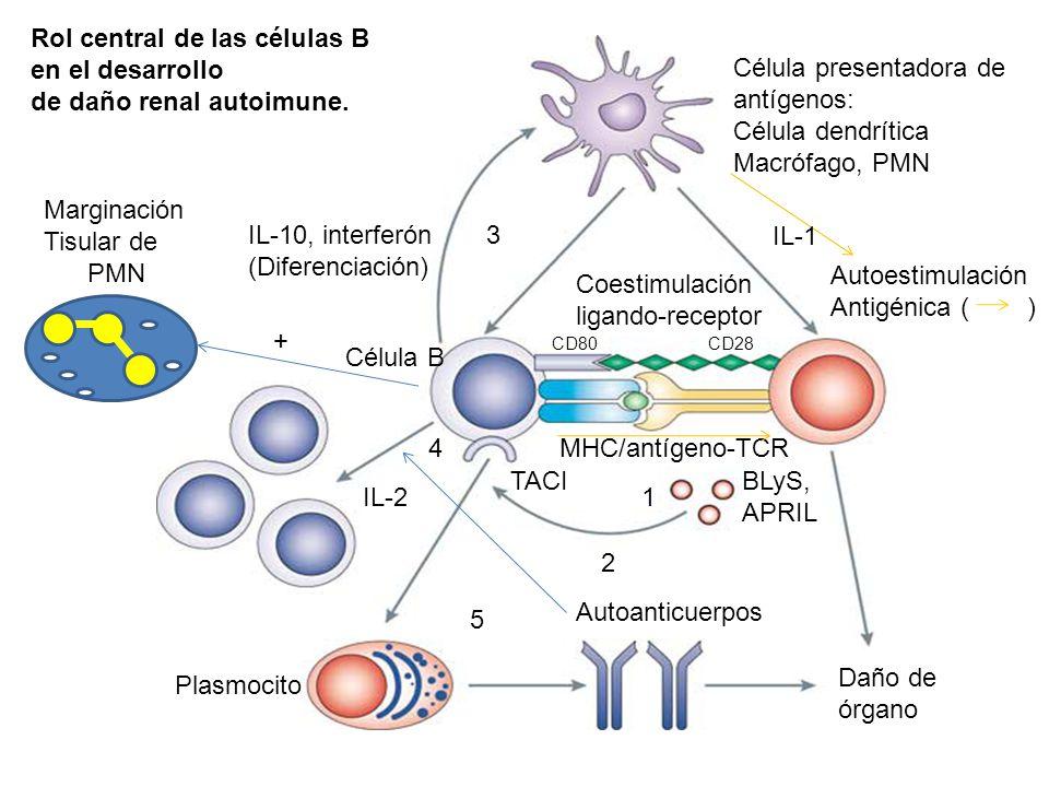 Rol central de las células B en el desarrollo de daño renal autoimune.