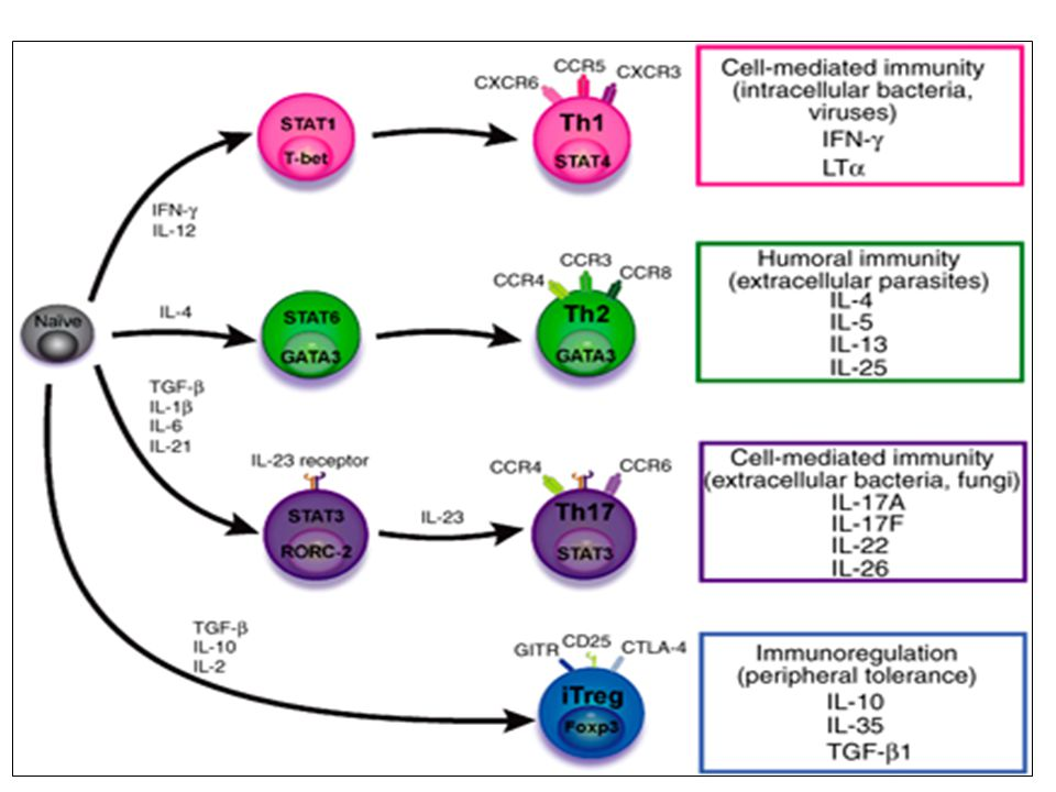 Naive CD4 cells T commit to the tissue destructive,-IFN–expressing Th1 program when signals 1 and 2 are delivered in a milieu rich in IL-12, a product of certain stimulated antigen-presenting cells.