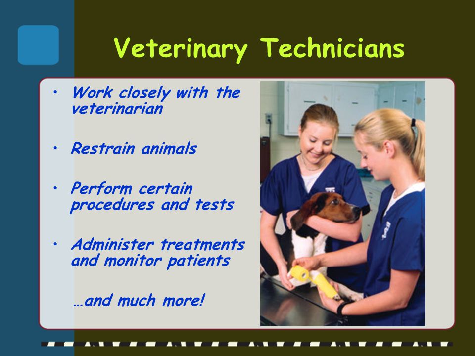 Veterinary Technicians Work closely with the veterinarian Restrain animals Perform certain procedures and tests Administer treatments and monitor pati