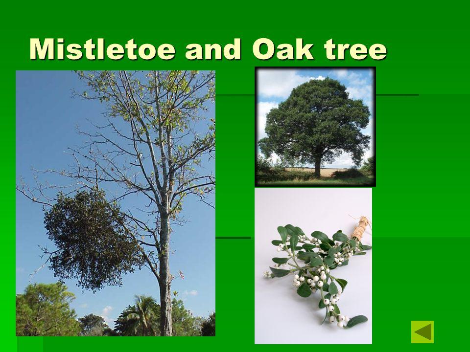 Mistletoe and Oak tree