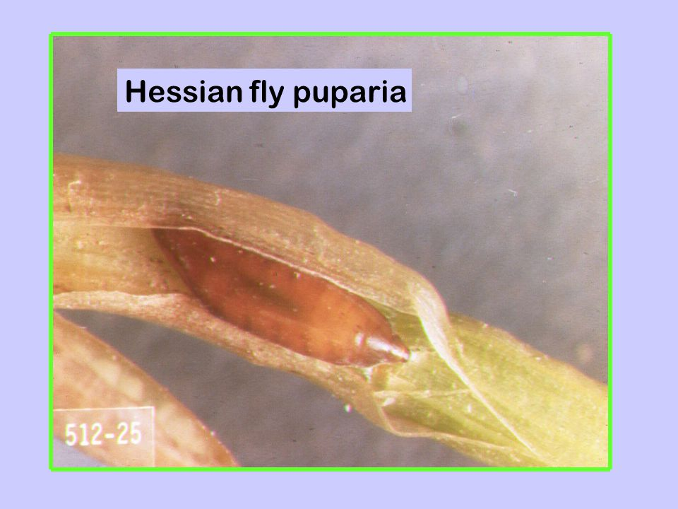 Hessian fly puparia