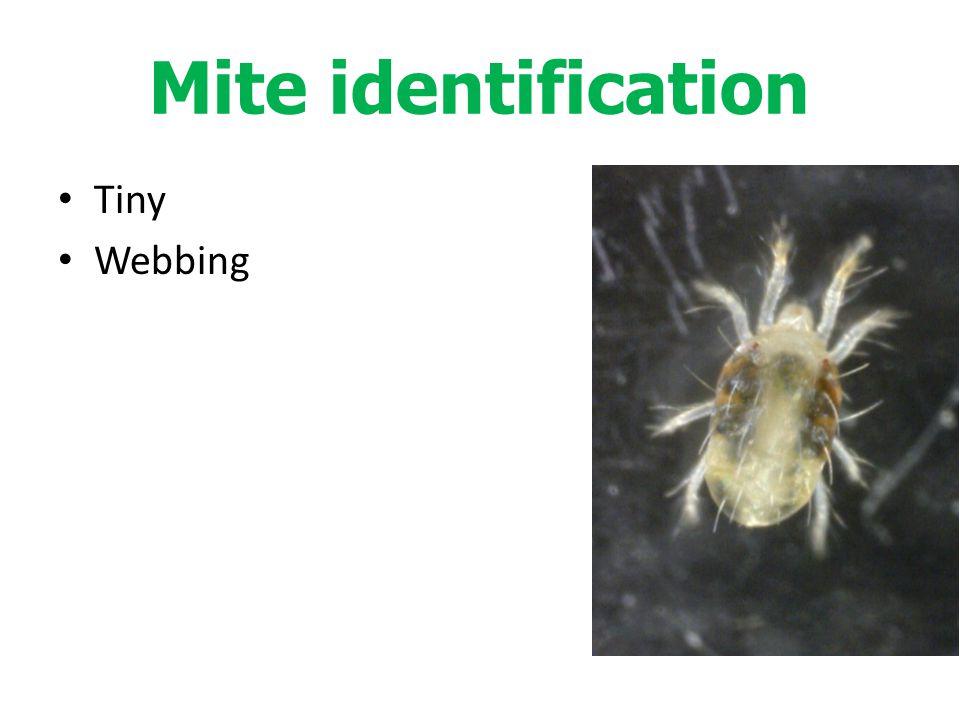 Tiny Webbing Mite identification