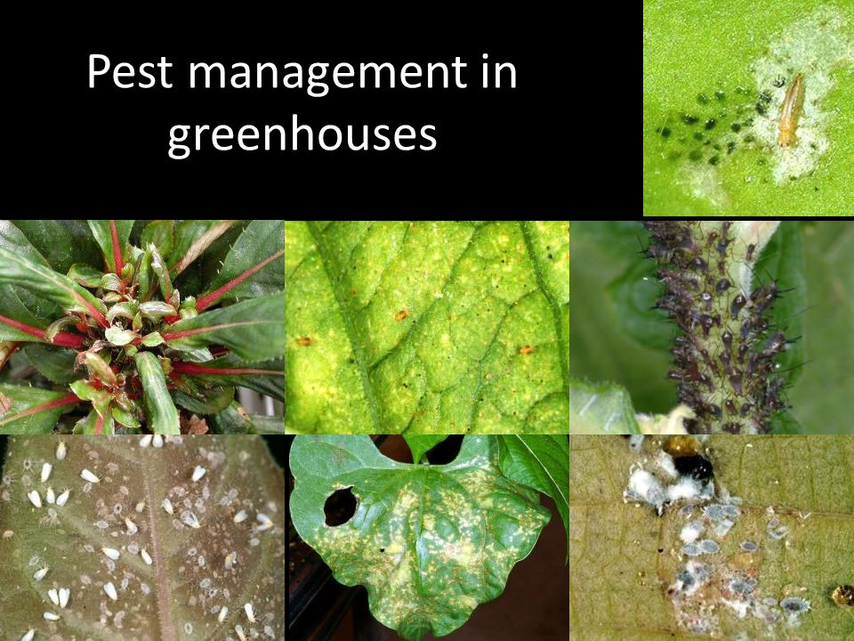 Pest management in greenhouses