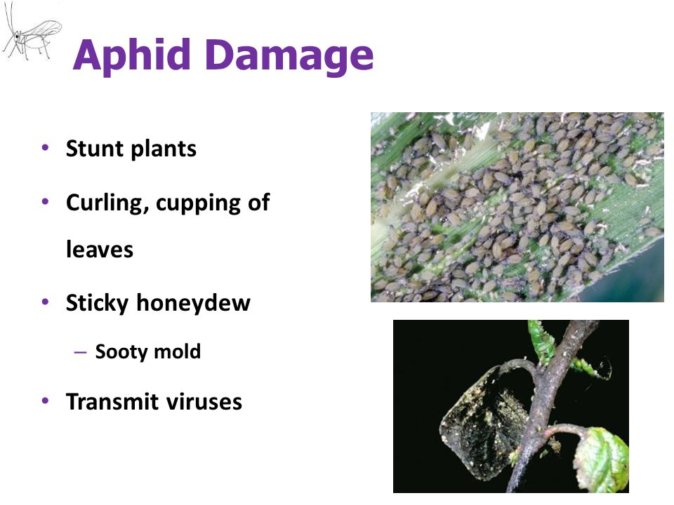 Aphid Damage Stunt plants Curling, cupping of leaves Sticky honeydew – Sooty mold Transmit viruses