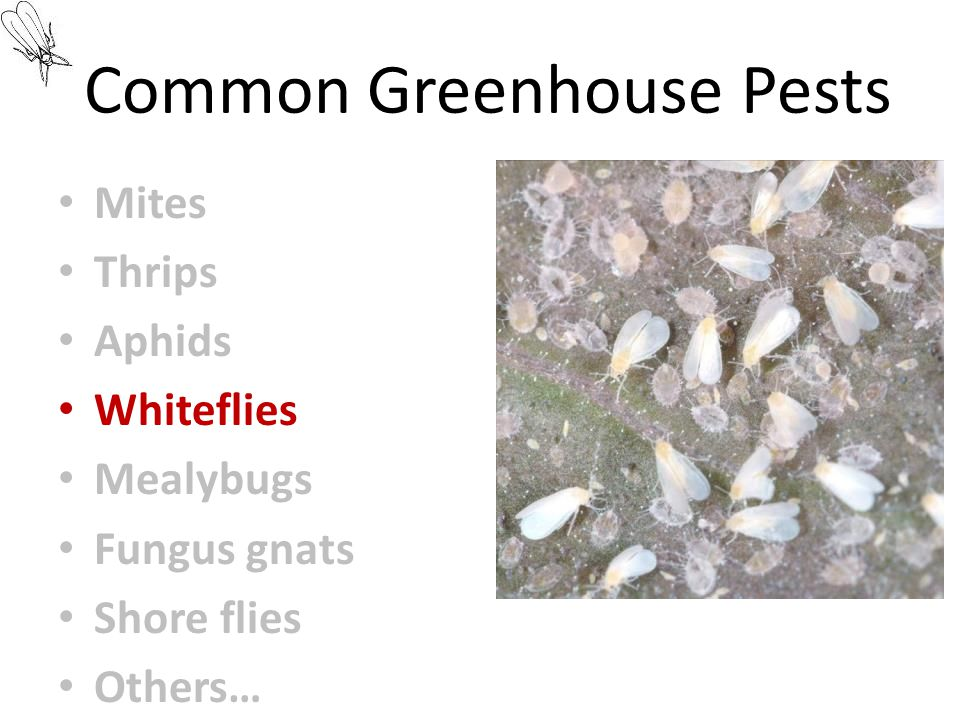 Common Greenhouse Pests Mites Thrips Aphids Whiteflies Mealybugs Fungus gnats Shore flies Others…