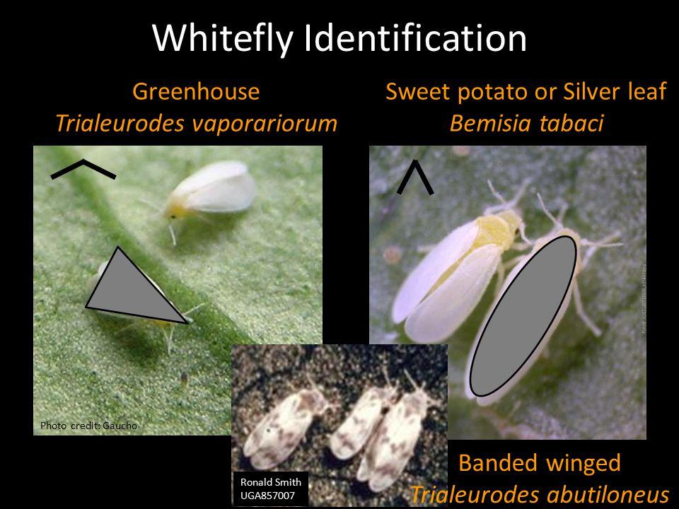 Whitefly Identification Greenhouse Trialeurodes vaporariorum Sweet potato or Silver leaf Bemisia tabaci Photo credit: Gaucho Ronald Smith UGA857007 Ba