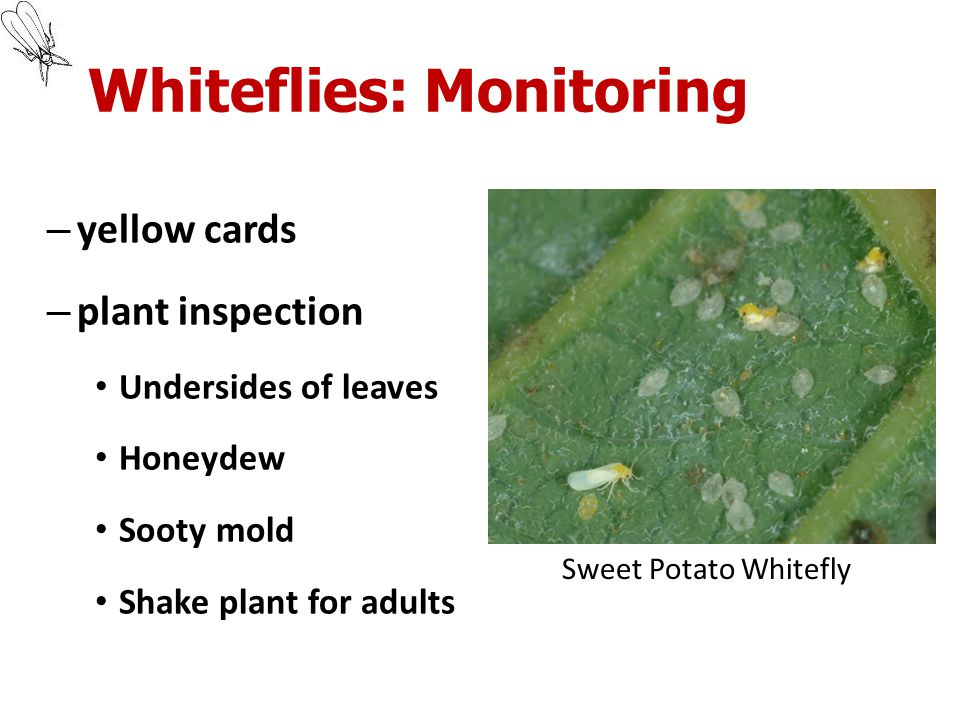 Whiteflies: Monitoring – yellow cards – plant inspection Undersides of leaves Honeydew Sooty mold Shake plant for adults Sweet Potato Whitefly