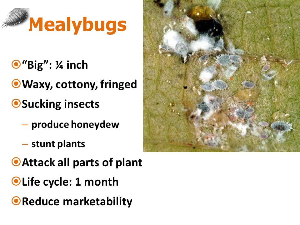 Mealybugs  Big : ¼ inch  Waxy, cottony, fringed  Sucking insects – produce honeydew – stunt plants  Attack all parts of plant  Life cycle: 1 month  Reduce marketability