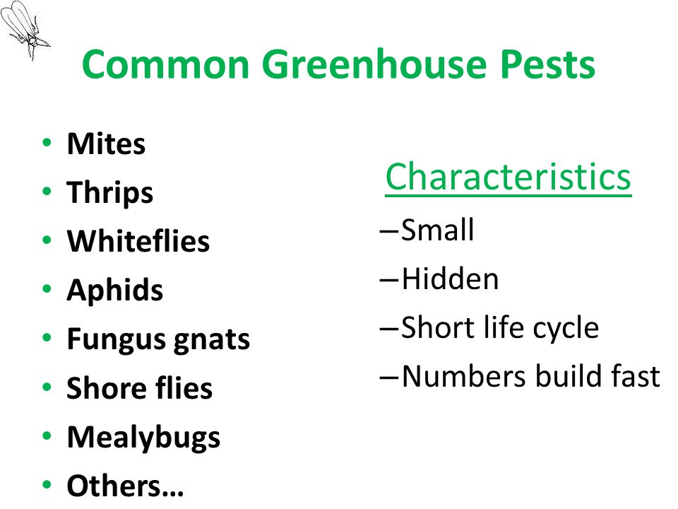 Common Greenhouse Pests Mites Thrips Whiteflies Aphids Fungus gnats Shore flies Mealybugs Others… Characteristics – Small – Hidden – Short life cycle – Numbers build fast