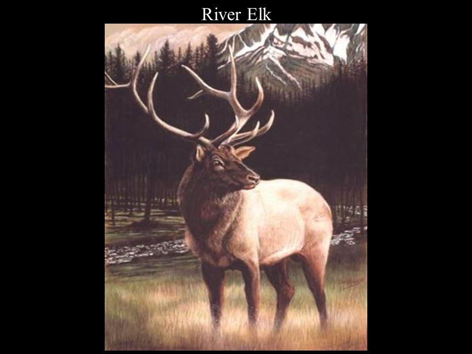 River Elk